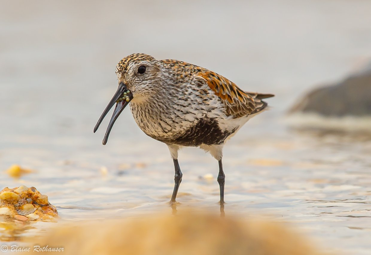 dunlin eating horseshoe crab eggs